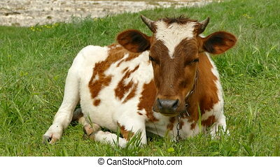 Young Cow Lying in a Pasture - Brown-White Young Cow Lies on...