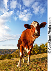 Funny Cow - A close-up of a cow looking at the camera