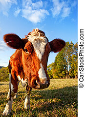 Curios Cow - A close-up of a cow looking at the camera