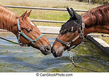 pair of saddlebreds nose to nose at a drinking trough