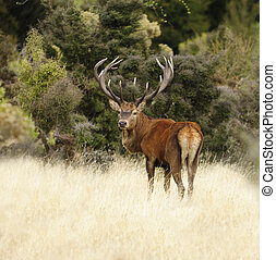 Red deer in New Zealand - a large 15 point Red Deer stag...