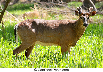 White-tailed Deer Buck Standing In Marsh Grass In Sun