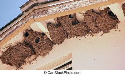 Nesting Barn Swallows Under a Roof Overhang.