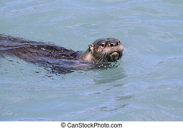 River Otter Lontra canadensis swimming in the Pacific Ocean...