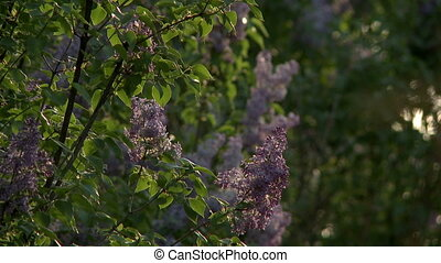 View of flowering lilac bushes and midges fly, close-up