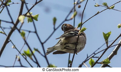 Chaffinch - the chaffinch sits on a tree branch