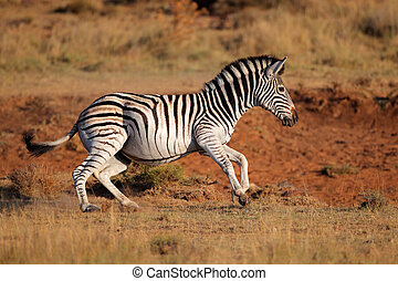 Running plains zebra - A running plains (Burchells) zebra...