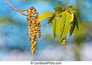 Catkins of hazel, highly allergenic pollen