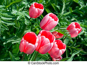 Pink tulips bounty - tulips bowing to the left.
