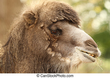 Bactrian Camel - close up of a Bactrian Camel head