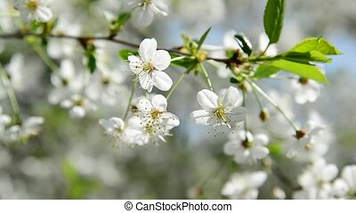Spring cherry blossoms closeup - A Spring cherry blossoms...