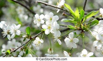 Spring cherry blossoms closeup - A Spring cherry blossoms...