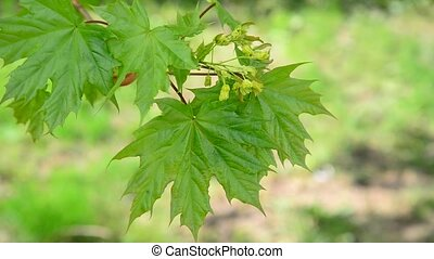 Young maple leaves in spring - Young maple leaves in a...