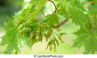 Young maple leaves in spring