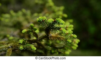 Fir tree in early spring with young needles - Fir tree in...
