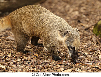 Ring-Tailed Coati - Close up of a Ring-Tailed Coati