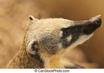 llame tailed, Coati,