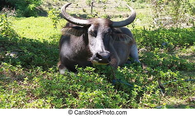 Water buffalo - cattle - Philippine water buffalo on a leash...