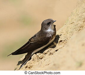Swallows Sand Martin - Swallows Sand Martin, riparia riparia...