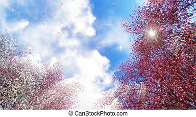 Sakura flowers and falling petals - Motion through flowering...