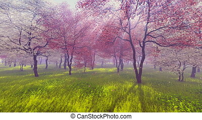 Blossoming cherry trees in sunlight - Blossoming cherry...