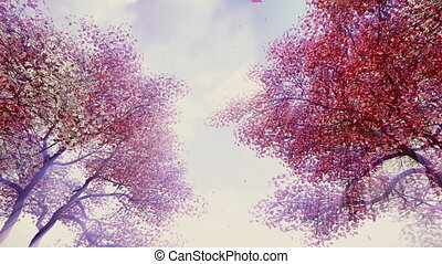 Blossoming cherry trees in sunshine - Look up at the...