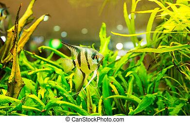Angelfish - fish swimming in an aquarium