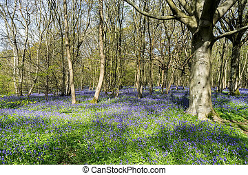Sussex Bluebells - Bluebells Brightening up the Sussex...