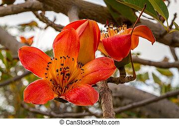 Blooming Bombax ceiba tree - Blooming tree, flowers of...