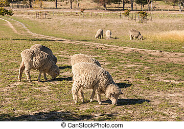 grazing merino sheep - closeup of grazing merino sheep
