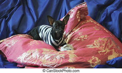 Dog toy-terrier barks and plays with a toy n a blue sofa...