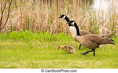 Goose Parents Stands By Offspring Coming Ashore to Rest -...