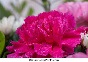 pink Carnations flower with water drop