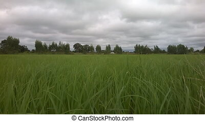 Wind blowing leaves of rice on cloudy sky