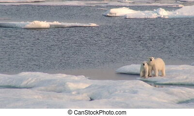 Mother polar bear and her cub on cold ice floe. - Mother...