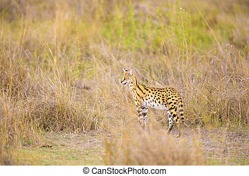 Wild serval looking after prey in Serengeti - Serval in the...