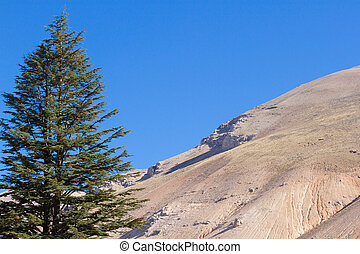 Lebanese cedar tree in the forest peak mountains - Cedar...