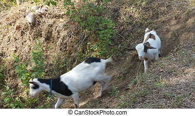 Goat left behind - Mother goat left kid behind a hill The...