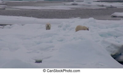 Mother polar bear and her cub on cold ice floe - Mother...