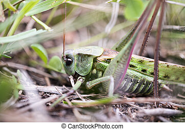 Grasshopper in the leaves - A big grasshopper is sitting in...