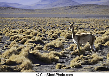 vicuna in the pampas of the Bolivian alti plano