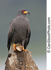 Male Snail Kite with an Apple Snail in its Talons