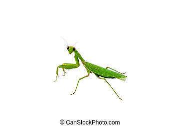 Green praying mantis insect - Close up details of green...