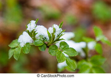 Snow  lying on the leaves