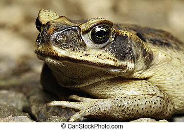 cane toad - close up of a cane toad  with its beautiful eyes