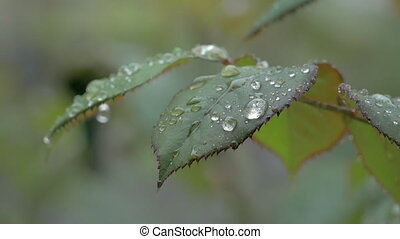 Beautiful Nature Background - Water, Rain Drops On Leaf Rose...