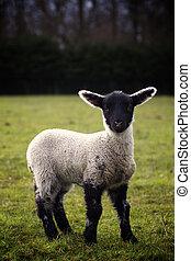 Lamb in Field - A beautiful small lamb in a green field...