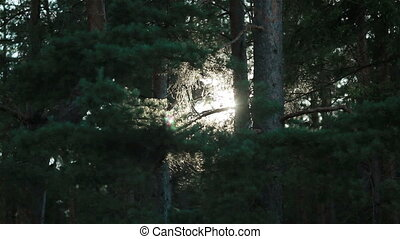 Sun shine branches of pine forest