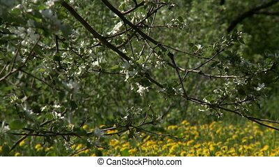 Spring awakening of nature Blooming apple tree, close-up