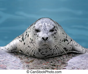 Harp seal looking at camera - Close-up of a Harp seal...
